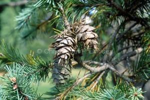 Pseudotsuga menziesii, aka Pseudotsuga taxifolia, aka Pinus taxifolia, aka Abies taxifolia, aka Abies douglasii var. taxifolia...