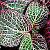 Fittonia albivenis (Verschaffeltii Group) 'Pearcei', leaves