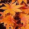 Acer palmatum, fall color