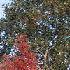 Acer rubrum, fall color