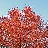 Acer rubrum 'Red Sunset', habit
