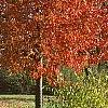 Acer rubrum 'Red Sunset', fall color