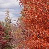 Acer saccharum, fall color