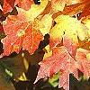 Acer saccharum 'Natchez', fall color