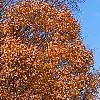 Acer saccharum 'Sweet Shadow', fall color