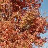 Acer triflorum, fall color