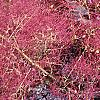 Cotinus coggygria 'Royal Purple', flowers