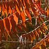 Rhus typhina, fall color