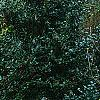 Ilex x 'Mary Nell', habit