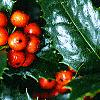 Ilex x 'Mary Nell', fruit