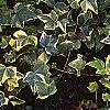 Hedera helix 'Gold Child', habit