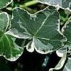 Hedera helix 'Glacier', leaves