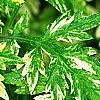 Artemisia vulgaris 'Variegata', leaves