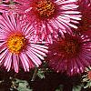 Aster novae-angliae 'Hella Lacy', flowers