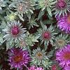 Aster 'Purple Dome', flowers