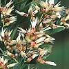 Baccharis halimifolia, flowers