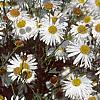Boltonia asteroides 'Snowbank', flowers