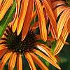 Echinacea x 'Orange Meadowbrite', flowers