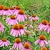 Echinacea purpurpea 'Kim's Knee High', flowers