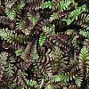 Leptinella squalida 'Platt's Black', leaves