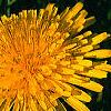 Taraxacum officinale, flowers