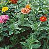 Zinnia spp., habit