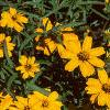 Zinnia 'Star Gold', flowers