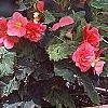 Begonia x tuberhybrida, culture