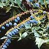Mahonia x meadia 'Winter Sun', fruit
