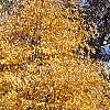Betula lenta, fall color