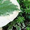 Brunnera macrophylla 'Dawson's White', leaves