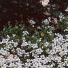 Lobularia maritima 'Snow Crystals', habit