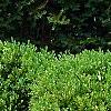Buxus 'Green Mound', habit