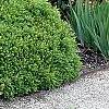 Buxus 'Green Velvet', habit