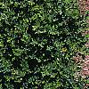 Buxus microphylla, culture