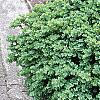 Buxus sempervirens 'Vardar Valley', habit
