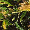 Sambucus canadensis 'Sutherland Gold', leaves