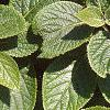Viburnum lantana, leaves