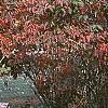 Viburnum setigerum, fall color