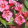 Weigela florida 'Bristol Ruby', flowers