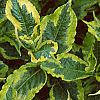 Weigela florida 'Rubigold', leaves