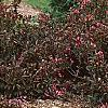 Weigela florida 'Wine and Roses', habit