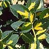 Euonymus fortunei 'Interbolwji', leaves