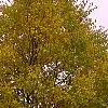 Cercidiphyllum japonicum, fall color