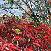 Cornus florida 'Pygmy', fall color