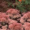 Sedum atlanticum 'Autumn Joy', habit