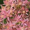 Sedum spectabile, flowers