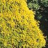 Chamaecyparis pisifera 'Gold Mop', habit
