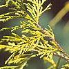 Chamaecyparis pisifera 'Gold Mop', leaves