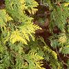 Thuja occidentalis 'Lutea', leaves